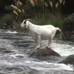 Coop's NZ River Sheep