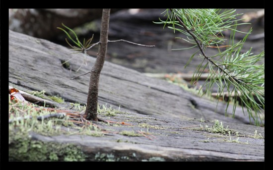Old railroad tie beside Quarter Mile Rapid with a pine tree growing out of it